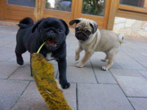 adorable-kc-reg-black-and-fawn-pug-brothers-5bd57386d6e3e