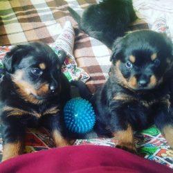 beautiful-female-rottweiler-puppies-for-sale-5aa3eaf5c7c9e