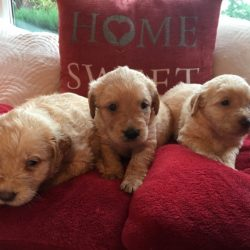 labradoodle-puppies-from-health-tested-parents-5b07f6b1b441f