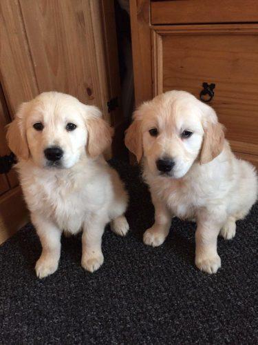 10-kc-registered-golden-retriever-puppies-5b5345b6c4f10